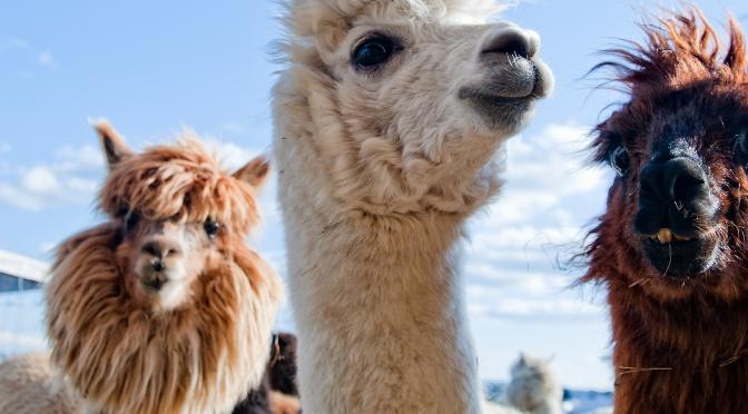 2 Cool Llamas
